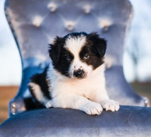 Darling border collie puppy posing in a blue chair.