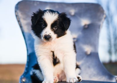 Sweet border collie puppy sitting calmly on a blue chair.