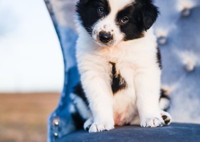 This border collie puppy is adorable.