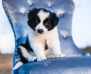 Black and white border collie puppy sitting on a blue chair looking sweet.