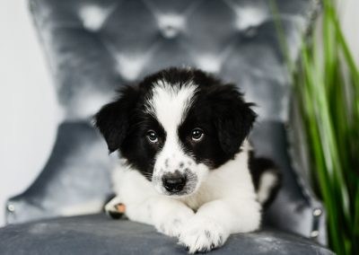 A black and white border collie puppy with sweet eyes.