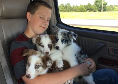 A little boy holding merle border collie puppies on his lap.