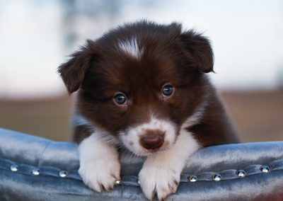 A red and white female border collie puppy with white paws peeking over a blue chair.