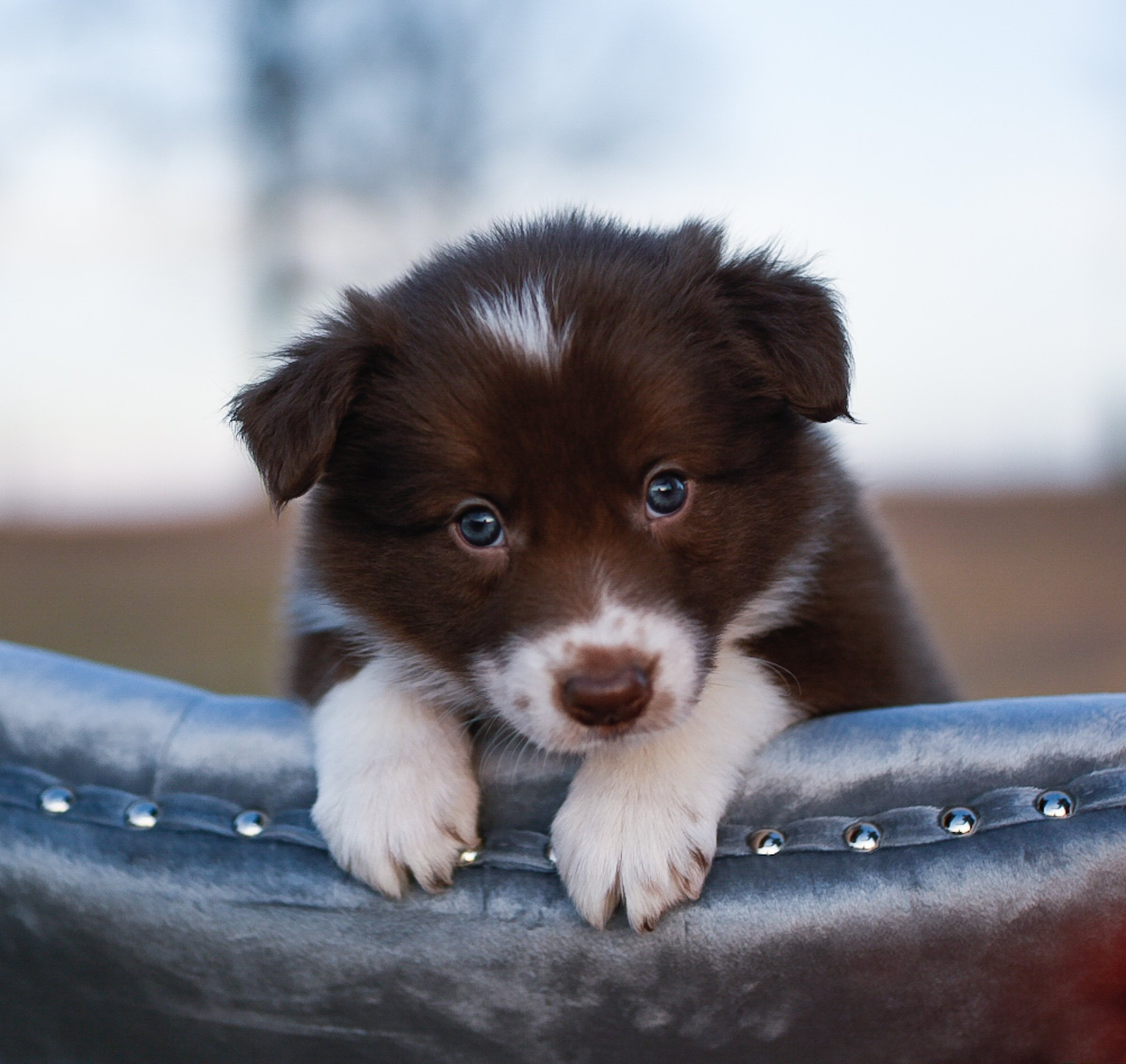 Red Border Collie Maremma Sheepdog Puppies For Sale Code Of Ethics Breeder