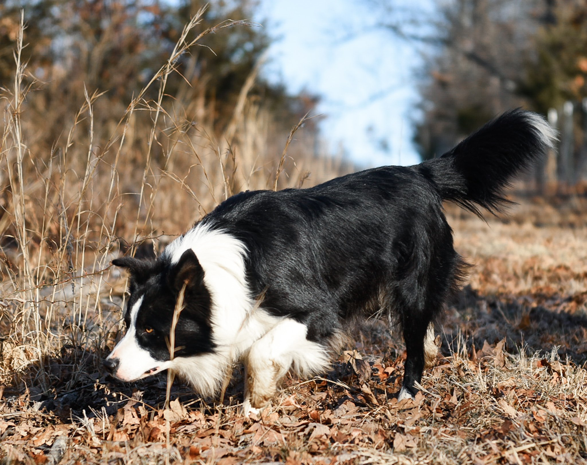 A black and white border collie walking in the forest.