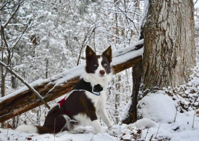 A red and white border collie by a tree in the snow.