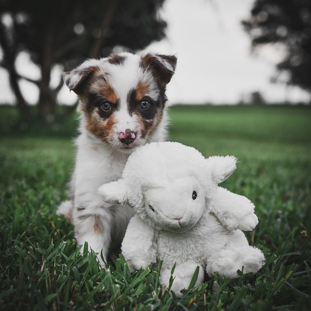 A red merle border collie puppy with her sheep stuffed animal in the green grass.
