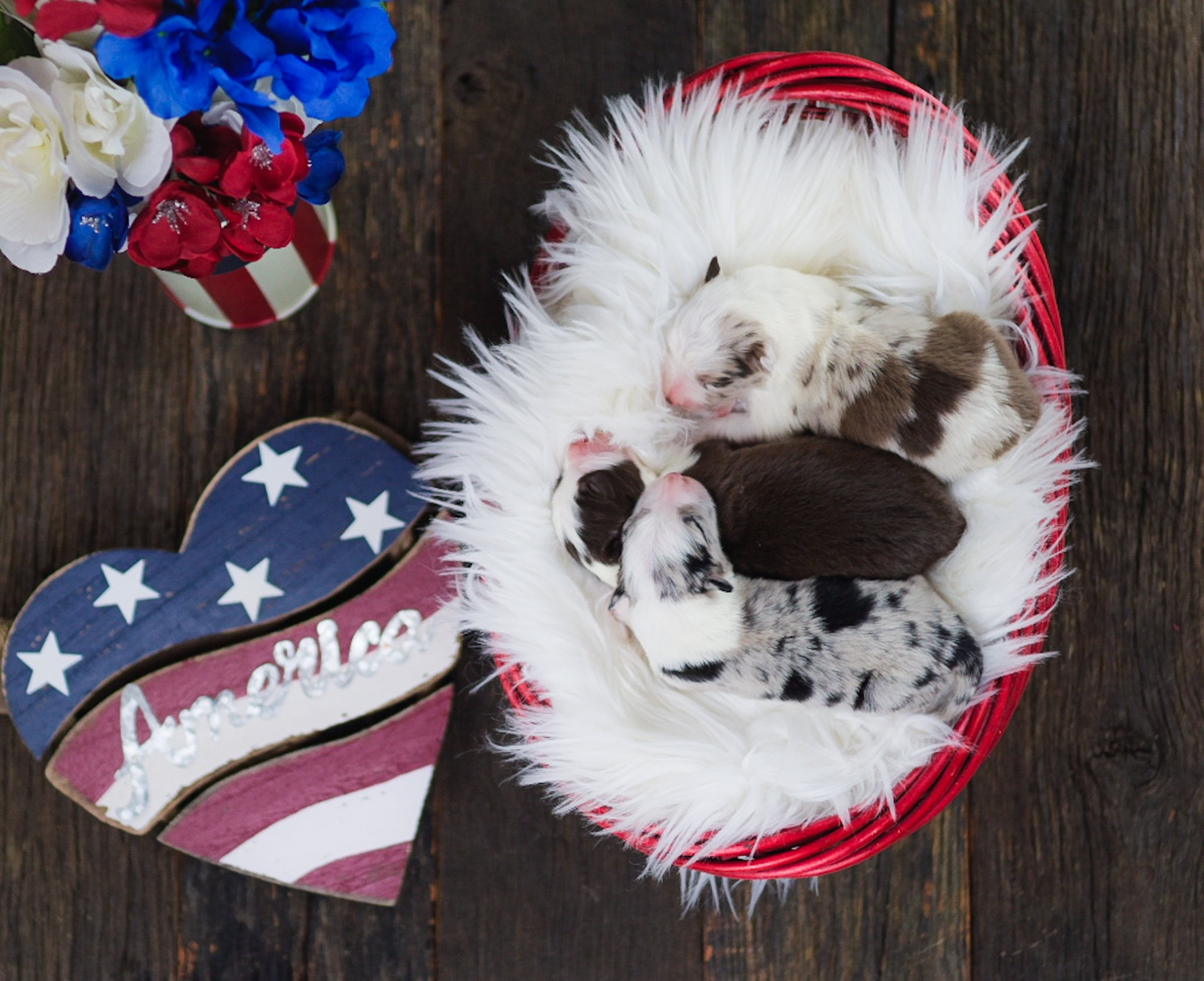 American Border Collie puppies for sale.