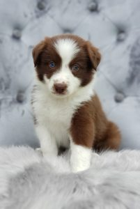 Red and white border collie puppy.