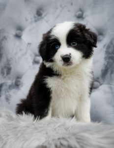 Black and white border collie puppy with one blue eye.