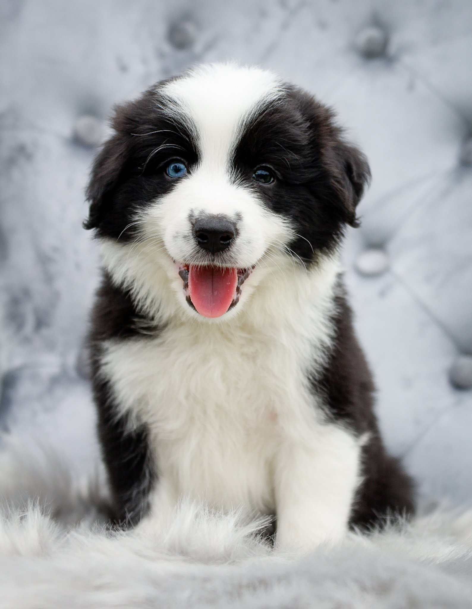 Black and white border collie puppy with one blue eye and a cute pink tongue.