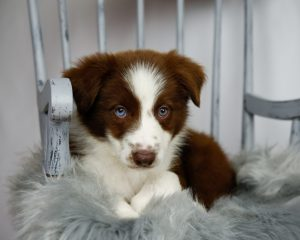 Garnet is an adorable red and white male border collie puppy.