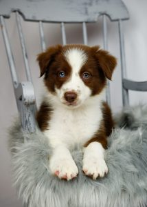 Red and white border collie puppy with one blue eye.