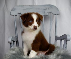 Red and white Border Collie puppy sitting in a blue rocking chair.