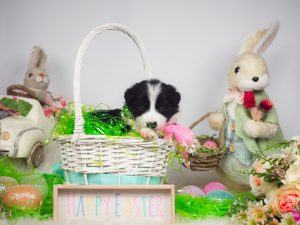 A border collie puppy with the Easter bunny