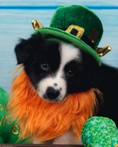 An adorable black and white puppy with a orange St. Patrick's day beard.