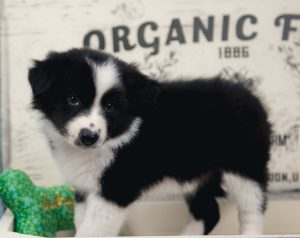 A black and white male Border Collie Puppy for sale.