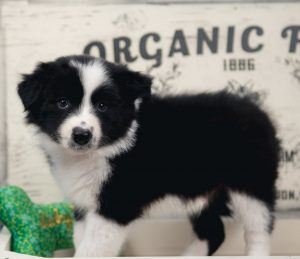A black and white border collie puppy for sale in Florida.