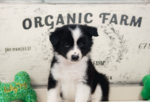 A black and white border collie puppy for sale in Missouri.