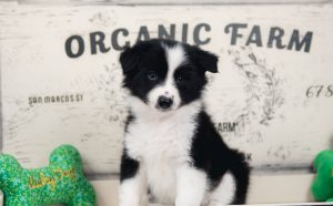 A border collie puppy posing with St. Patrick's day props.