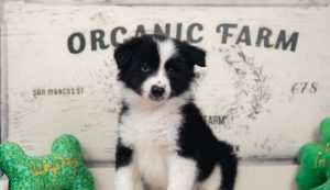An adorable black and white male border collie puppy for sale in Arizona.