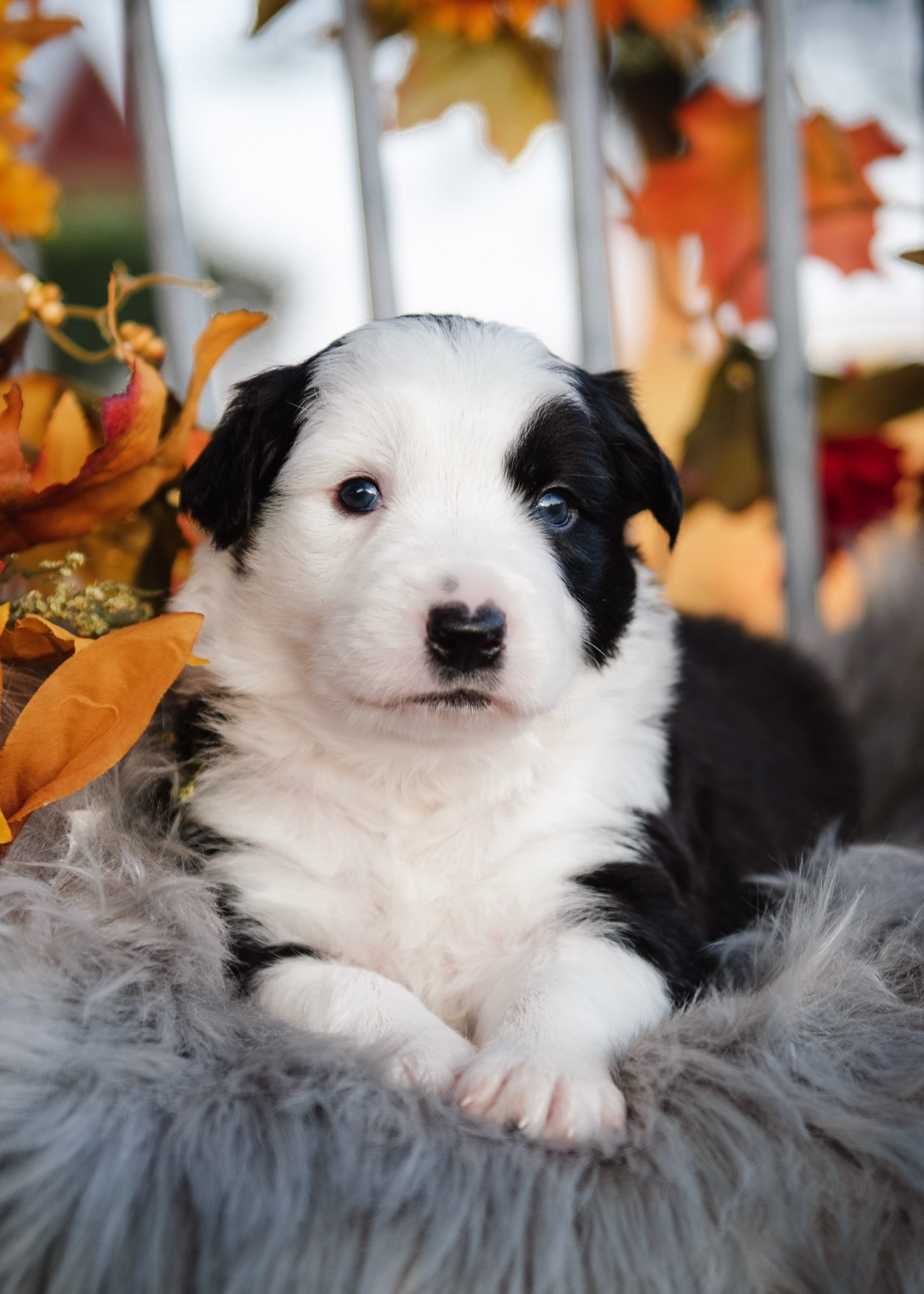A black and white border collie puppy among the fall leaves.