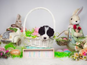 An adorable black and white border collie puppy celebrating Easter.