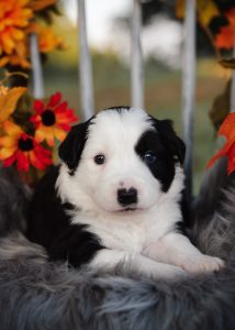 Adorable black and white female border collie puppy fall 2020.