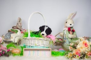 A border collie puppy with Easter eggs and the Easter bunny.