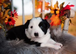 A female black and white border collie puppy with orange and red leaves.