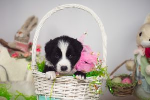 A border collie puppy in a cute Easter basket.