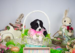 A black and white border collie puppy posing pretty in an Easter basket.