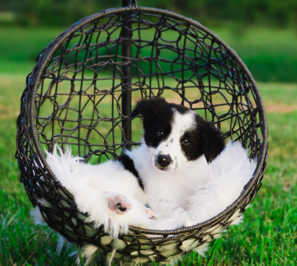 White and Black Border Collie puppy for sale in Florida.