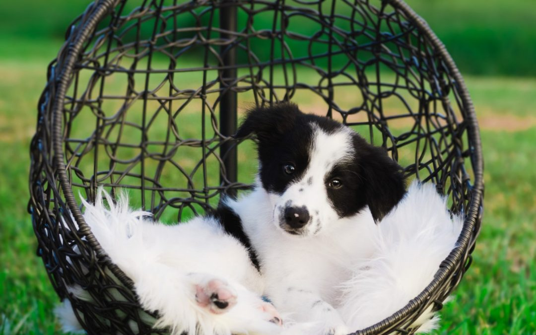 Available Border Collie Puppies