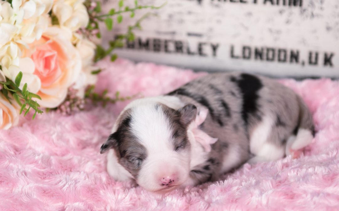 A blue merle female puppy sleeping peacefully in St. Louis, MO.