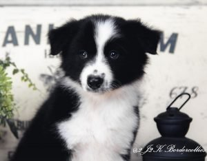 A black and white male border collie puppy for sale in Missouri.