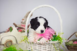 A black and white border collie puppy for sale in FL.