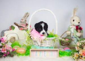 This border collie puppy is all ready for the Easter bunny!