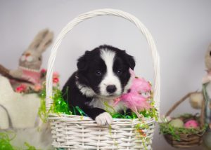 A black and white puppy in an Easter basket.