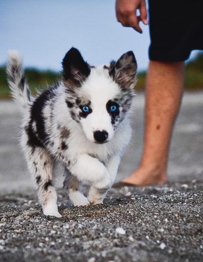 A blue merle Border Collie puppy for sale in Florida.