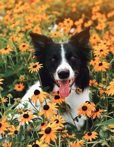 A black and white border collie laying in a field of black-eyed Susans.