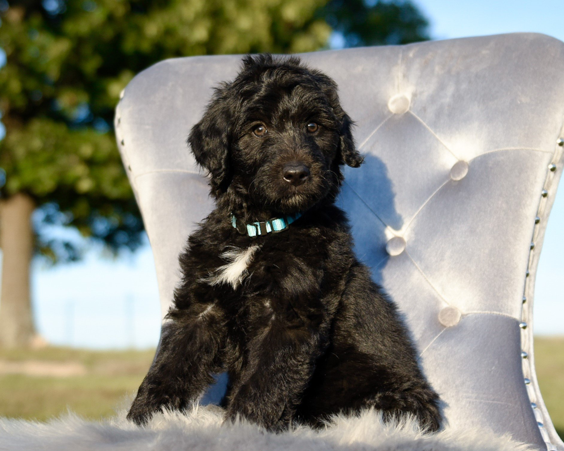A black and white Bordoodle sitting in a blue chair.