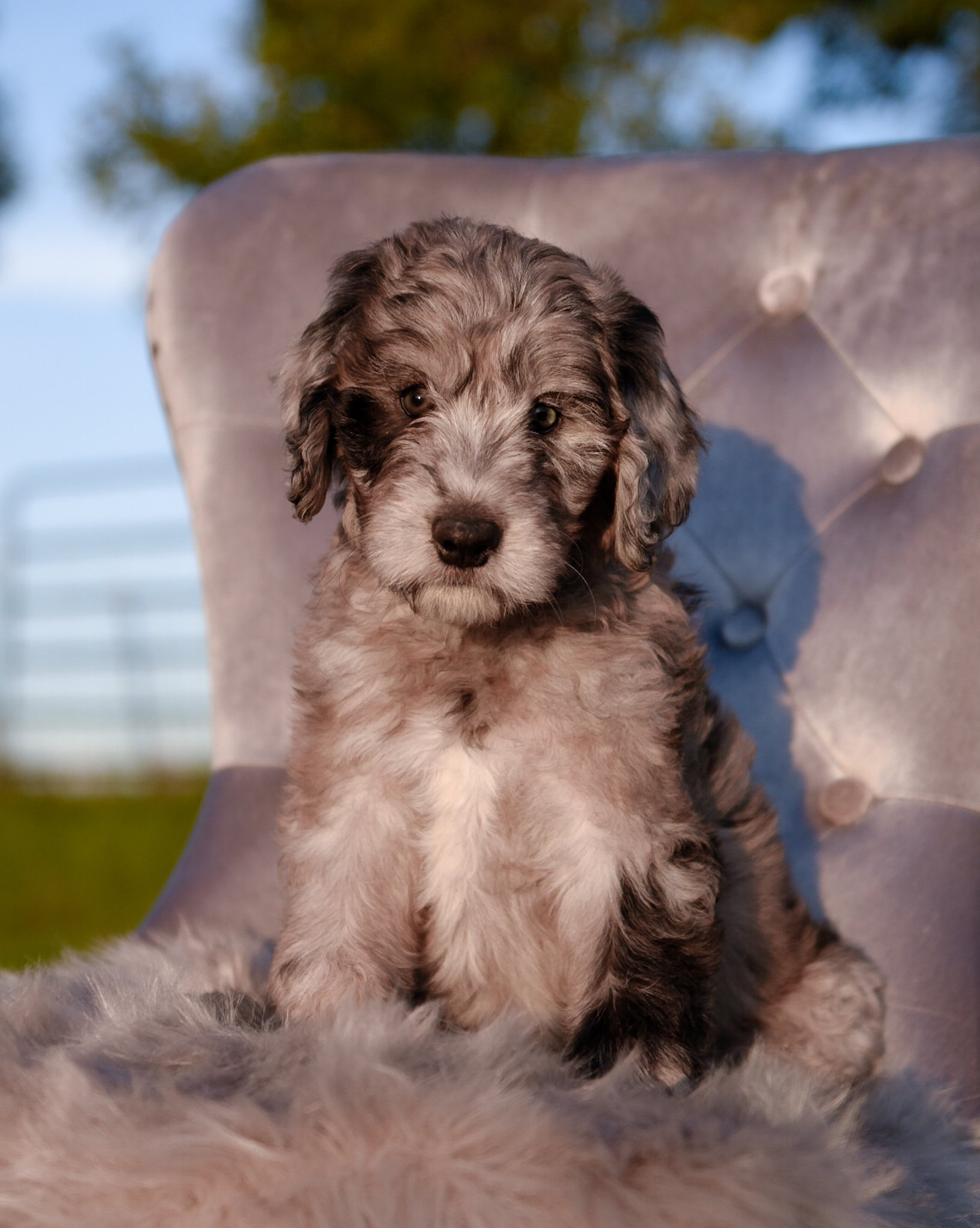 A blue merle Bordoodle puppy sitting on a blue chair outside in the summer.