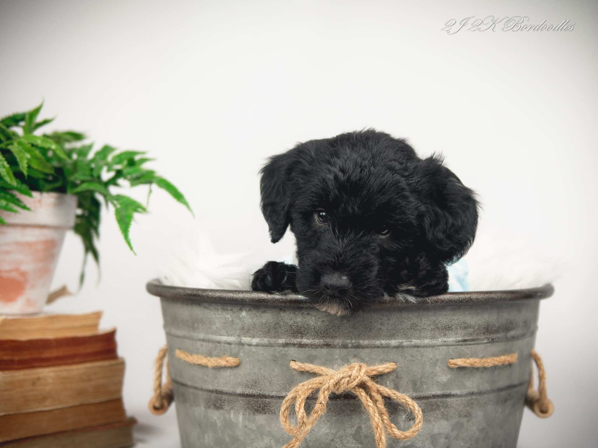 A black and white Bordoodle puppy sitting in a metal tub.