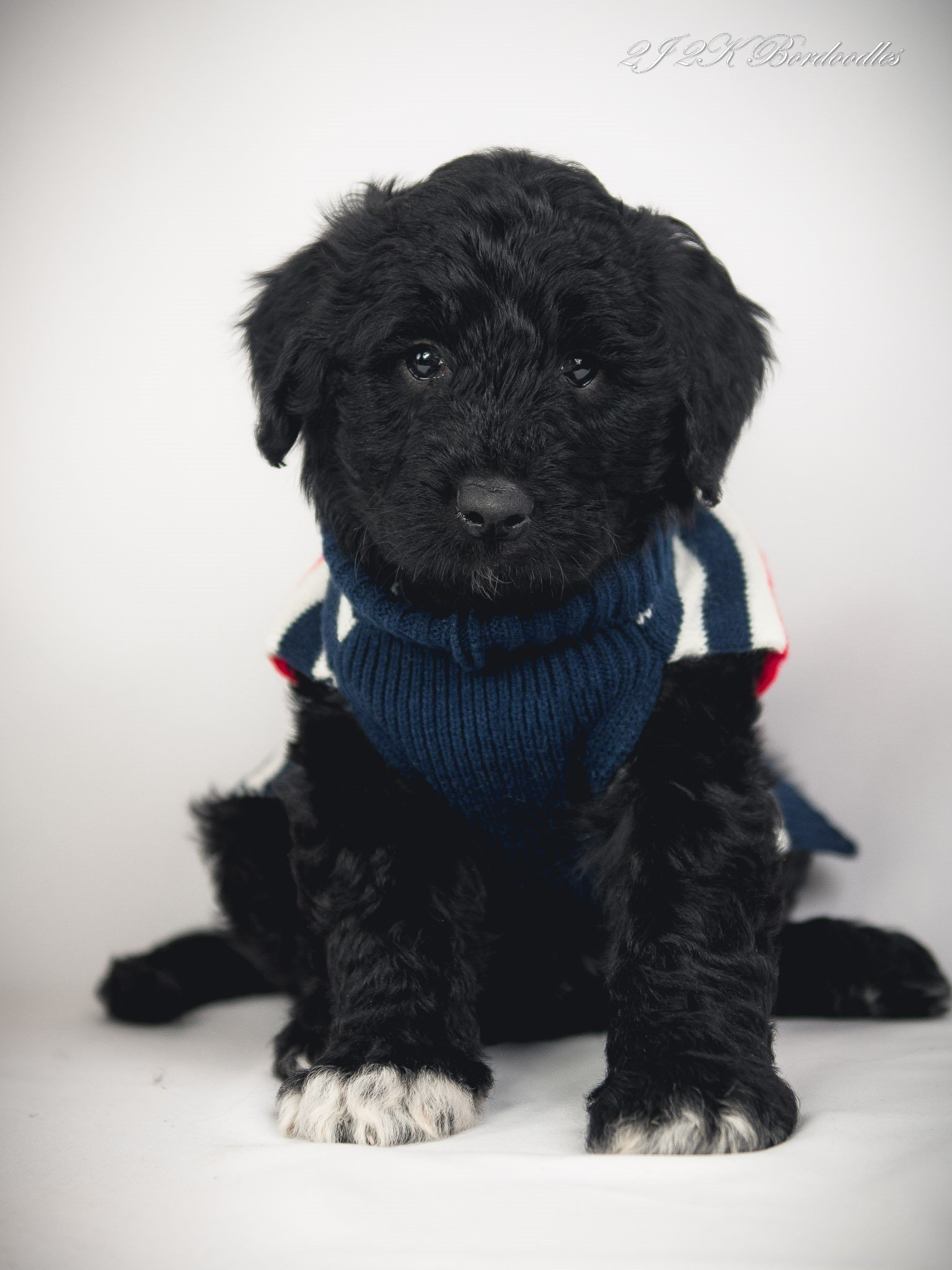 A black and white Bordoodle puppy standing with a white background.
