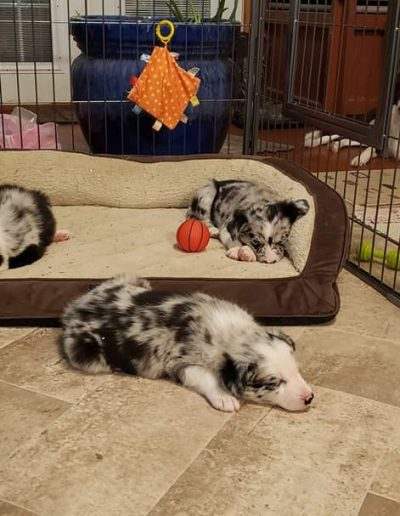 Blue merle border collie puppies for sale sleeping in the puppy nursery.