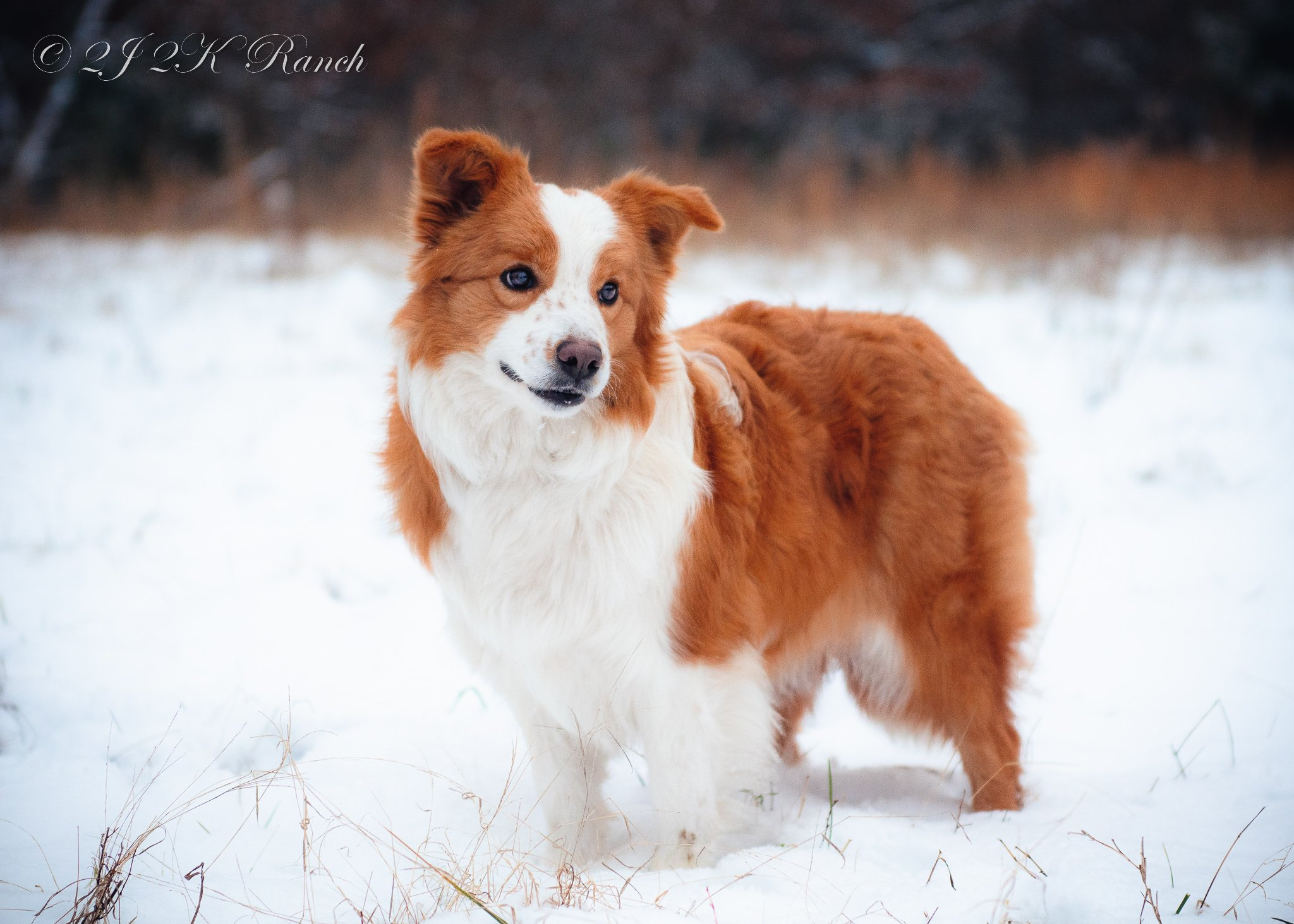 A gold and white Border Collie standing in the snow.