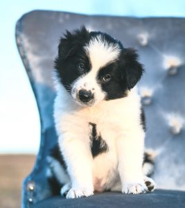 A black and white Border Collie puppy for sale by 2J 2K Ranch