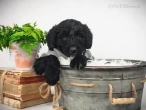 A bordoodle puppy sitting in a washtub.