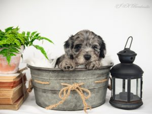 A blue merle Bordoodle puppy with a black lantern beside him.